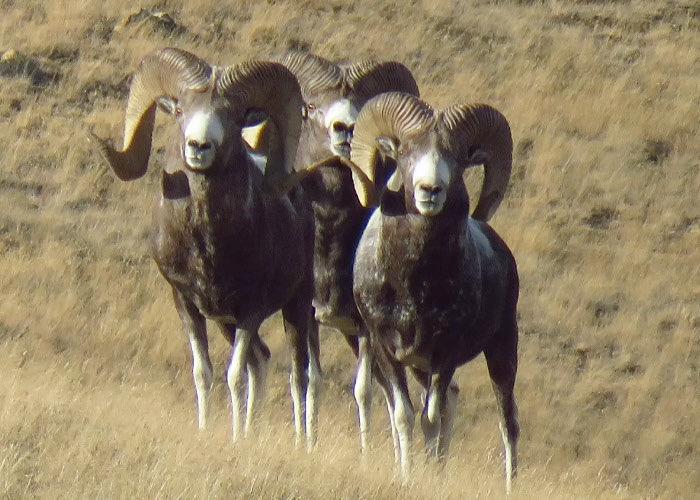 Аргали в Сайлюгемском национальном парке.