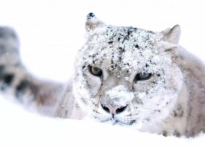 Снежный барс.