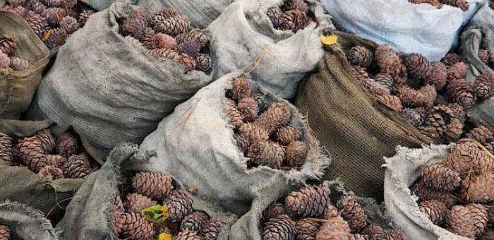 Житель Кызыл-Озека утащил у приятеля шесть мешков кедровых шишек