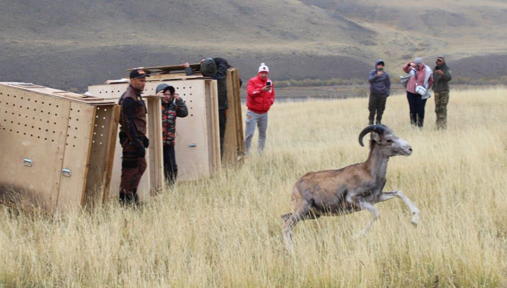 Четырех аргали из зоопарка выпустили на свободу в Сайлюгемском нацпарке