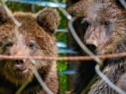 В Алтайском заповеднике выпустили в природу спасенных медвежат