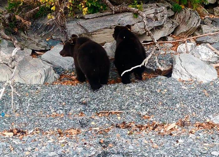Медведь полакомился виноградом и яблоками у дома в Горном Алтае