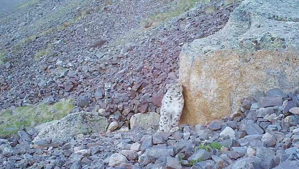 Очередная экспедиция «По следам снежного барса» обнаружила на хребте Чихачева одинокого Хоргая