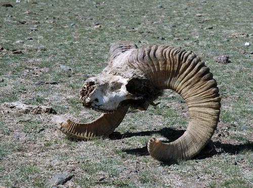 Экологи убеждены, что этот аргали стал жертвой высокопоставленных браконьеров