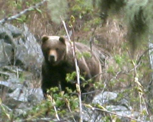 Инспекторы Катунского заповедника сфотографировали медведя