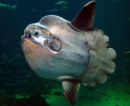 Скорее всего, туристы принимают за «монстра из Тяньчи» рыбу-луну