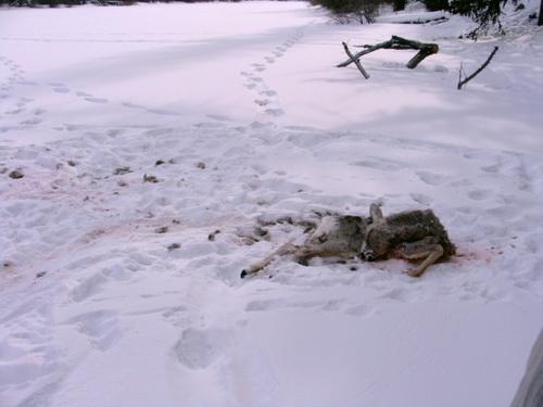Волки «задавили» косулю