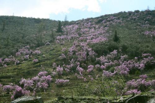 В Горном Алтае зацвел маральник (фото)