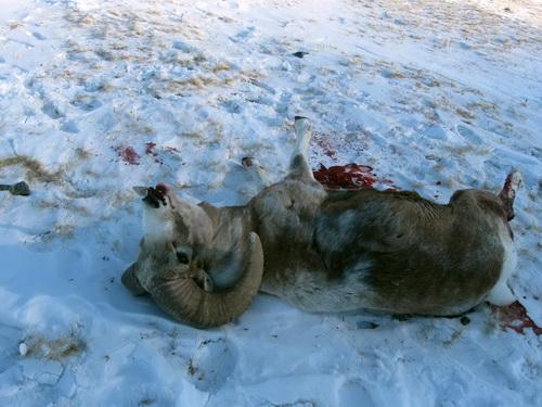Один из трех застреленных баранов