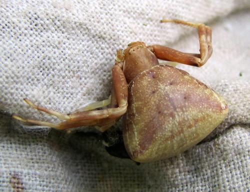 Pistius truncatus (фото пресс-службы заповедника)