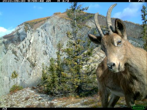 Самка сибирского горного козла заглядывает в камеру