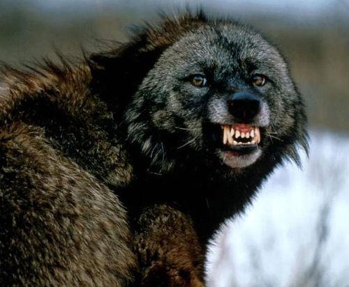 Росомахе «лишь бы пожрать», говорят охотники