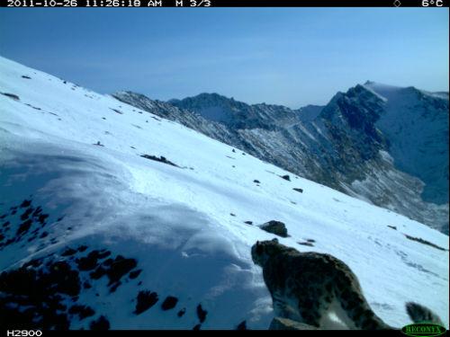 Снежный барс на хребте Чихачева