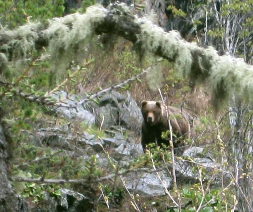 Сейчас медведи предпочитают искать орехи в тайге