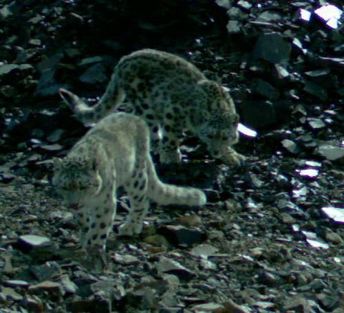 На Алтае удалось сделать фотографии котят ирбиса