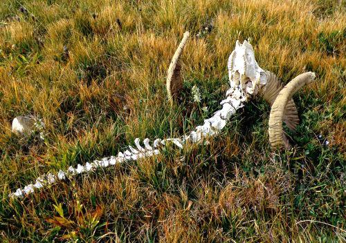 Часть скелета архара была обнаружена в Кош-Агачском районе