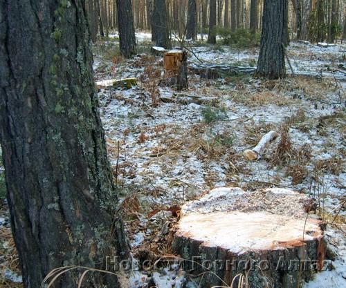Местные жители давно обращали внимание властей, что под видом санитарной вырубки в окрестностях Аската заготавливают деловую древесину (фото 2007 года)
