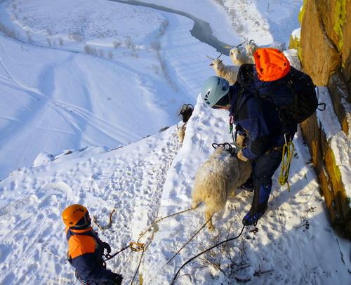 Спасатели сняли со скалы отару овец