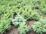 В Горном Алтае высажено 808 тыс. саженцев елей и листвениц