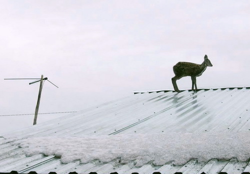 Что-то загнало юную кабаргу на крыши