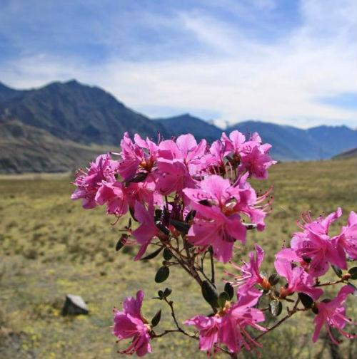 В горах Алтая расцвел маральник. Фотография Любови Ивашкиной