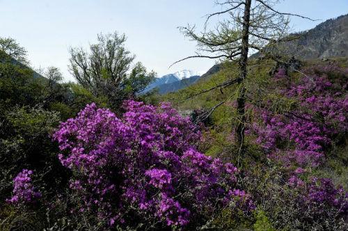 В горах Алтая расцвел маральник. Фотография Александра Тырышкина