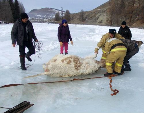 В Улагане пожарные спасли коров, провалившихся под лед