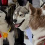 В Манжероке состоялись гонки на собачьих упряжках