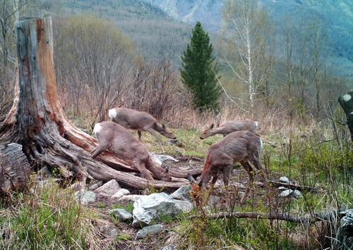 В Катунском заповеднике с фотоловушек получены новые снимки животных