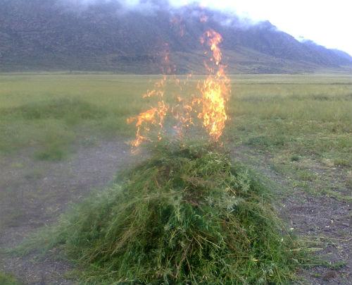 На Алтае уничтожают дикорастущую коноплю
