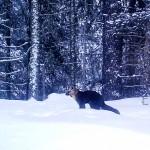 Получены новые фотоснимки обитателей Катунского заповедника