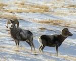 Специалисты подсчитали численность ирбиса, аргали и марала на территории Горного Алтая