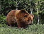 Охота на бурого медведя открыта в Республике Алтай