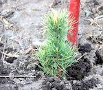 Весенние посадки леса завершаются в Республике Алтай