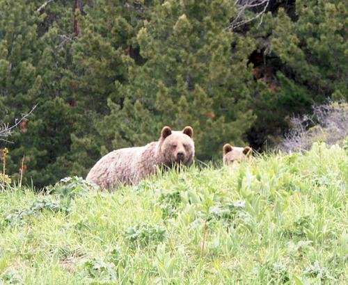 Медведи в Катунском заповеднике. Фото: отдел экологического просвещения заповедника