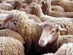 Племенных овец и коз Горного Алтая показывают на выставке в Забайкалье