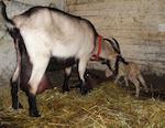 В Усть-Коксе пьяный мужчина зарезал соседскую козу