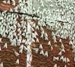 Ученый: Нынешняя вспышка численности непарного шелкопряда еще не является патологической