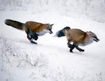 На Алтае отрылась охота на волка, лисицу и зайца