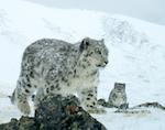 В Сайлюгеме появился снежный барс с двумя котятами (фото)