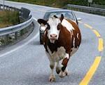 Корова стала причиной автомобильной аварии в Горном Алтае