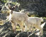 В Алтайском заповеднике продолжается изучение подвида оленя, который считался вымершим