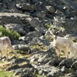 Северные олени в Алтайском заповеднике. Фото: Александр Пономарев