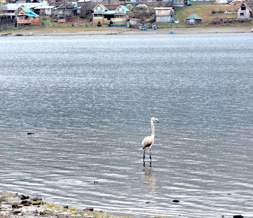 Фламинго на Телецком озере. Фото: Руслан Репкин