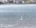 На Телецком озере заметили фламинго (фото)