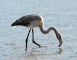 Фламинго, отбившегося стаи около Телецкого озера, приютили в барнаульском зоопарке