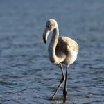 Специалисты не могут поймать отбившегося от стаи фламинго в Артыбаше
