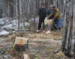 В Турочакском районе злоумышленники срубили 14 вековых сосен