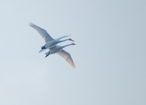 Лебединые объятья