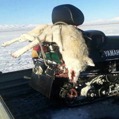 Большая загонная охота на волков прошла в Кош-Агачском районе